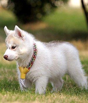Kanados Eskimų šuo - šuniukas