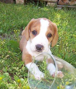 Švedų dašbrakas - šuniukas