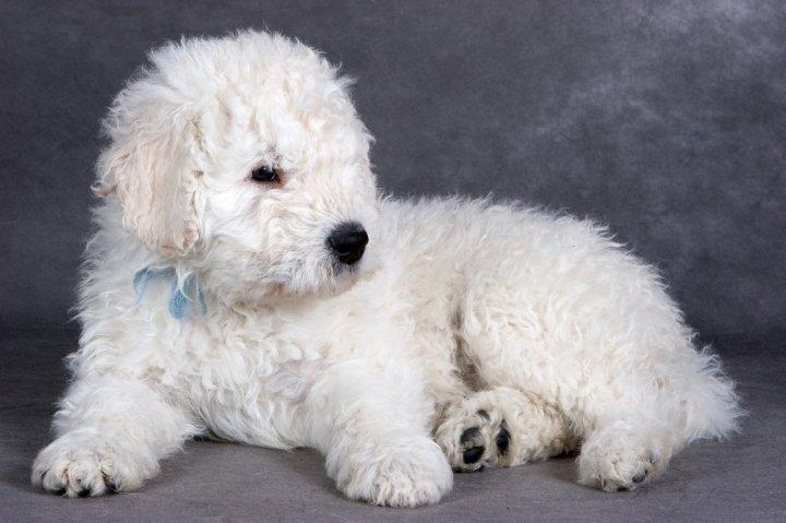 Komondoras - šuniukas