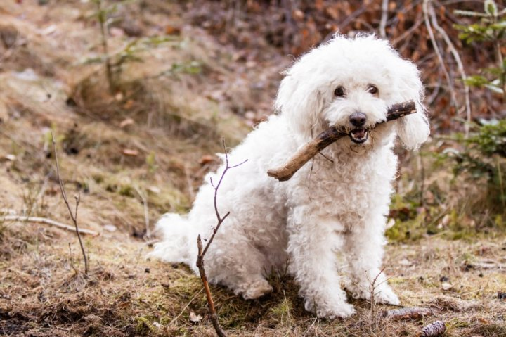 Pulis - šuniukas