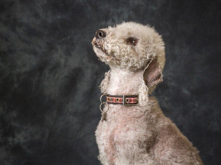 Bedlingtono terjeras - šuniukas