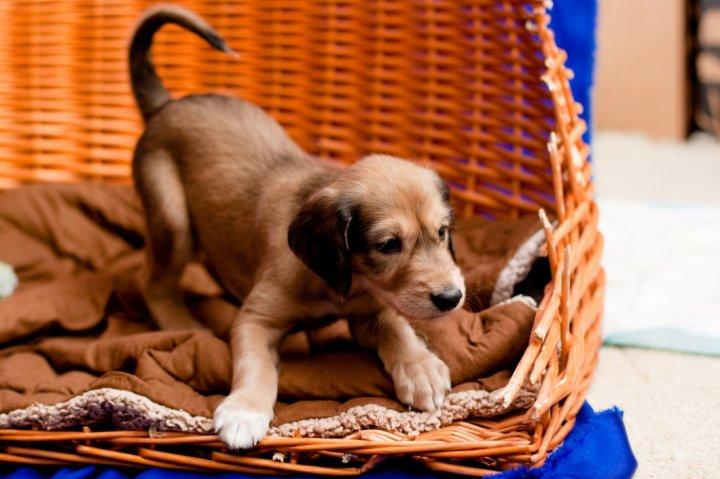 Saliukis (persų kurtas) - šuniukas