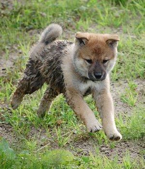 Šikoku - šuniukas