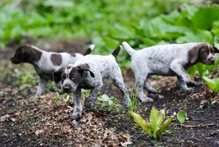 Vokiečių Kurtsharas (Trumpaplaukis pointeris) - šuniukas
