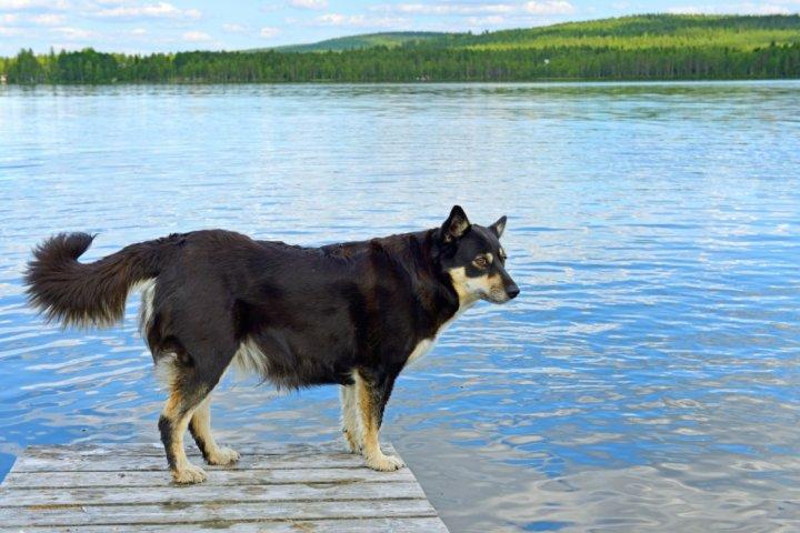 Suomių šiaurės elnių ganymo šuo - nuotrauka