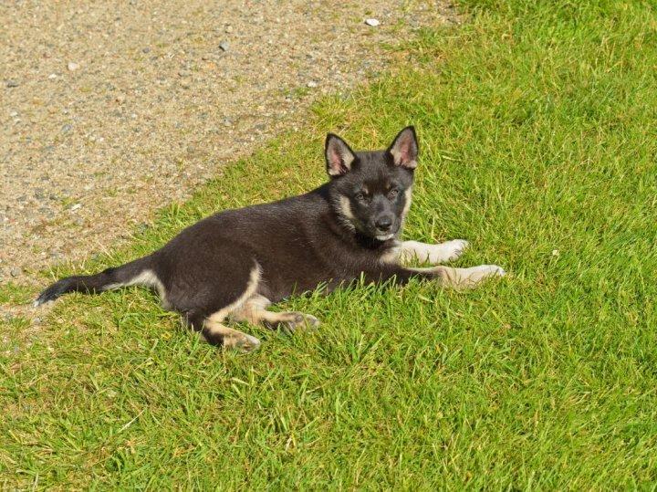 Suomių šiaurės elnių ganymo šuo - šuniukas