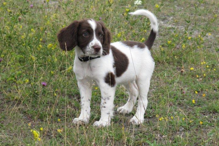Anglų springerspanielis - šuniukas