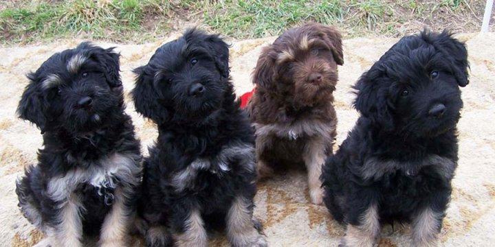 Portugalų aviganis - šuniukas