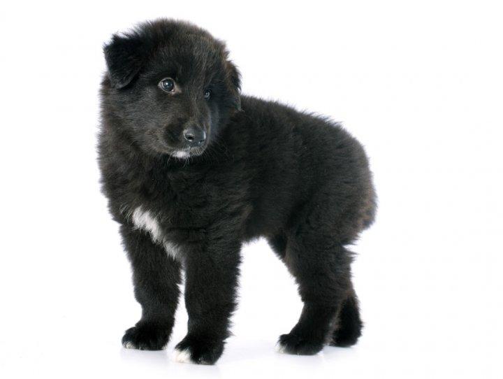 Belgų aviganis - Griunendalis - šuniukas