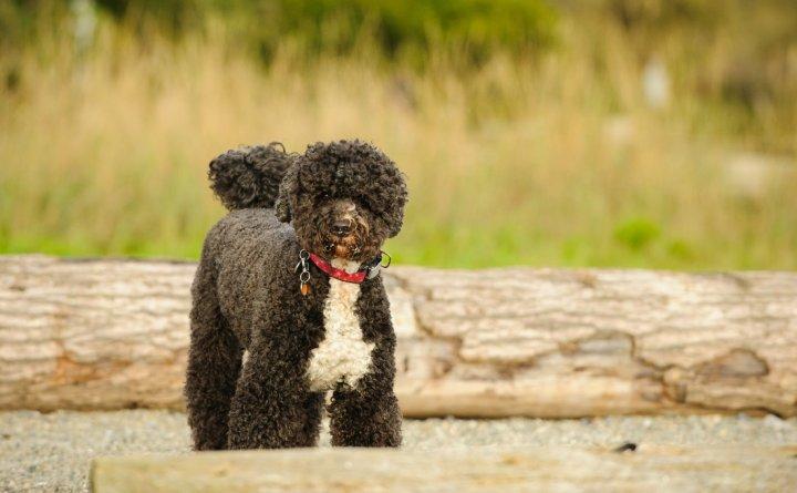 Portugalų vandens šuo - nuotrauka