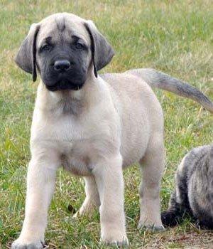 Amerikiečių mastifas - šuniukas