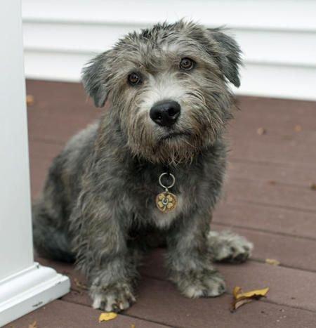 Airių Gleno Imalio terjeras - šuniukas