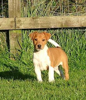 Plummer Terjeras - šuniukas