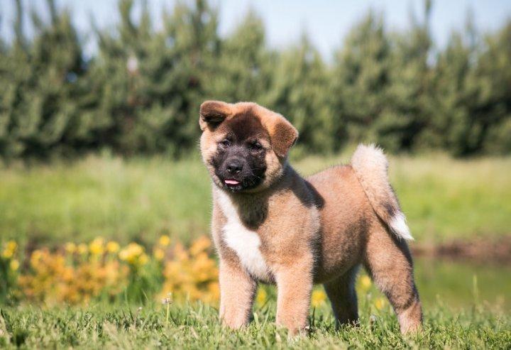 Amerikiečių akita - šuniukas