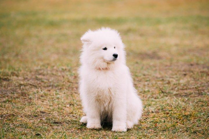 Samojedas - šuniukas