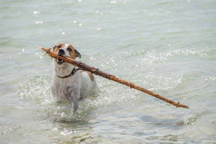Danų-švedų Fermerių Šunys - nuotrauka