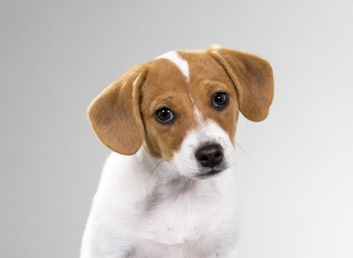 Danų-švedų Fermerių Šunys - šuniukas
