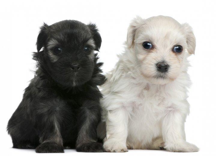 Šuo liūtukas - šuniukas