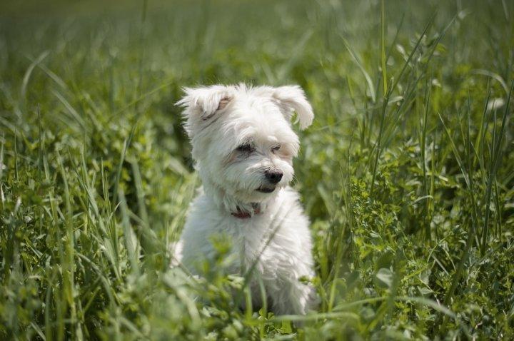 Garbanotasis bišonas - šuniukas