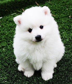 Italų volpinas - šuniukas