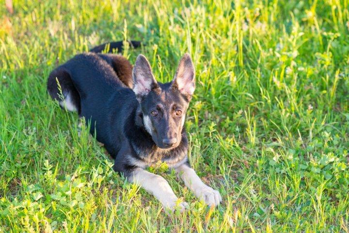 Rytų Europos aviganis - šuniukas