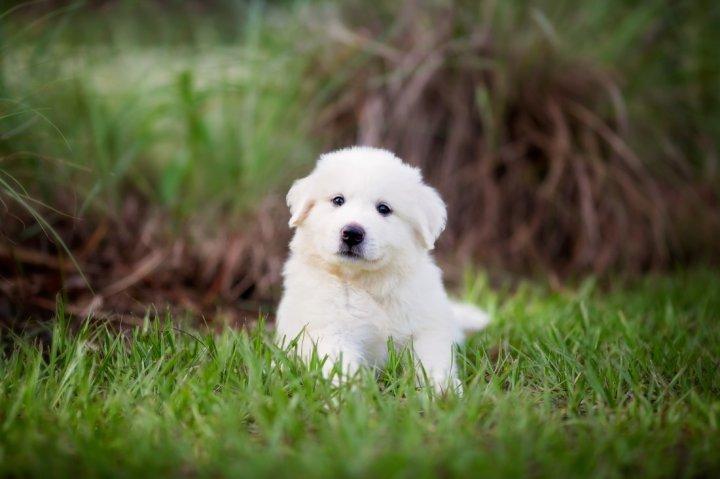 Pirėnų kalnų šuo - šuniukas