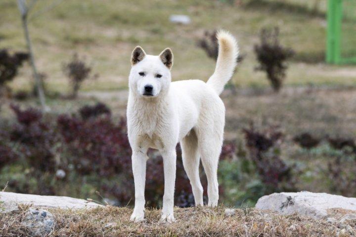 Korėjos džindo šuo - nuotrauka