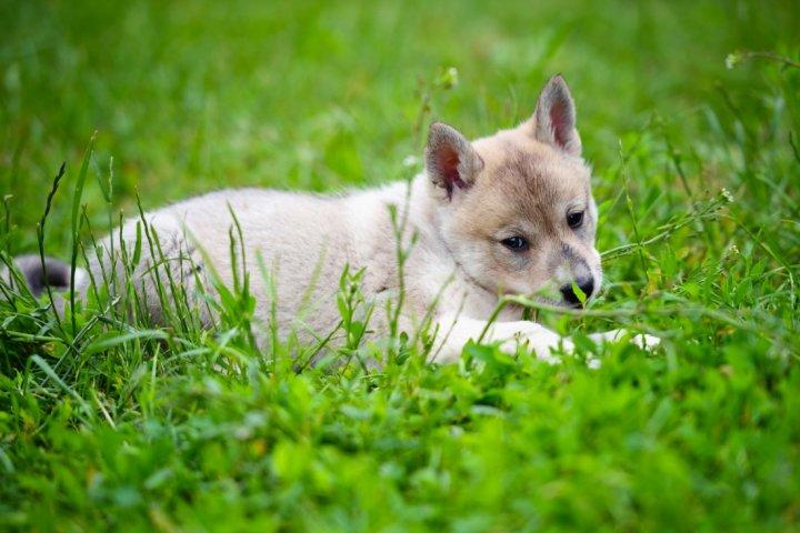 Vakarų Sibiro laika - šuniukas