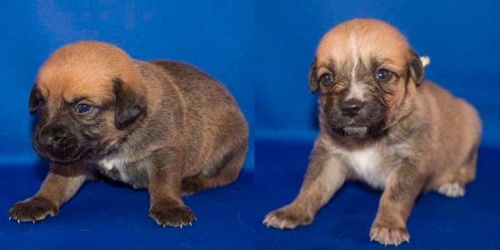 Austrų pinčeris - šuniukas