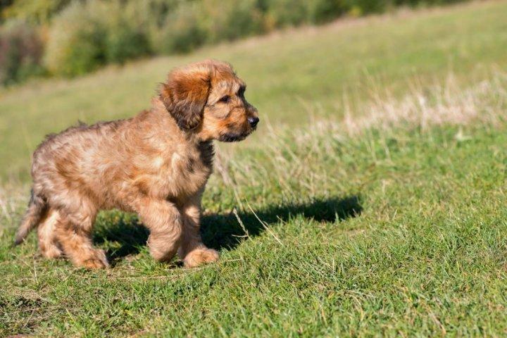 Briaras - šuniukas