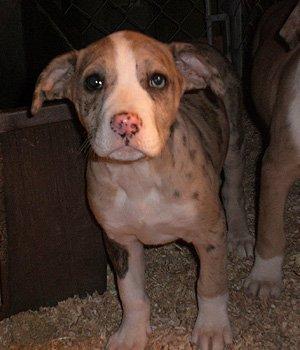Catahoula Bulldog - šuniukas