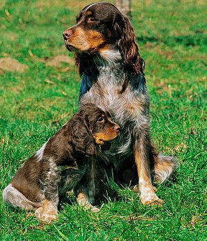 Mėlynasis Pikardo spanielis - šuniukas