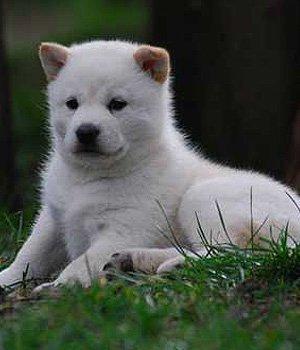 Hokaido - šuniukas