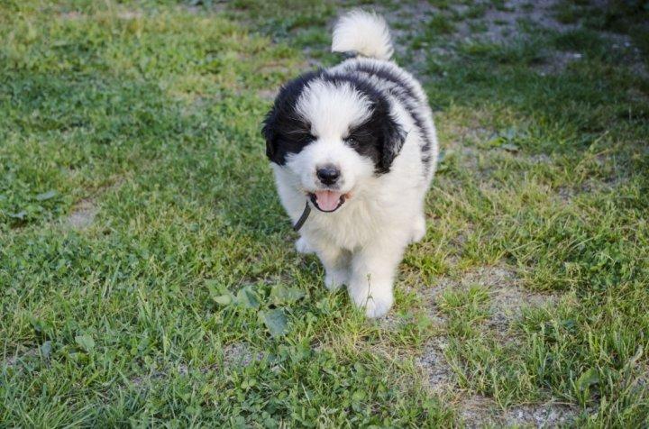Tornjakas - šuniukas