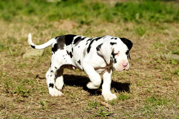Vokiečių dogas - šuniukas
