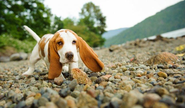 Basetas - šuniukas