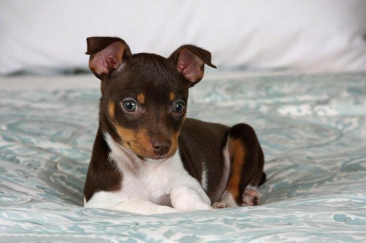 Žiurkinis terjeras - šuniukas