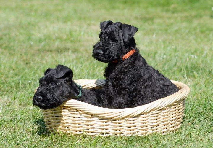 Keribliūterjeras - šuniukas