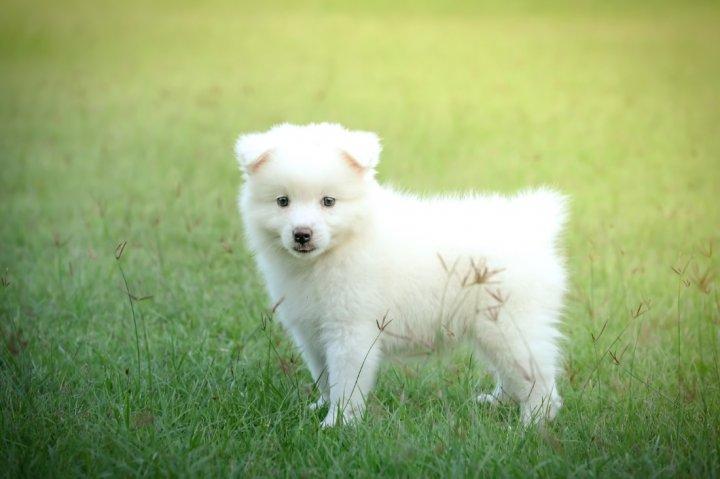 Japonų špicas - šuniukas