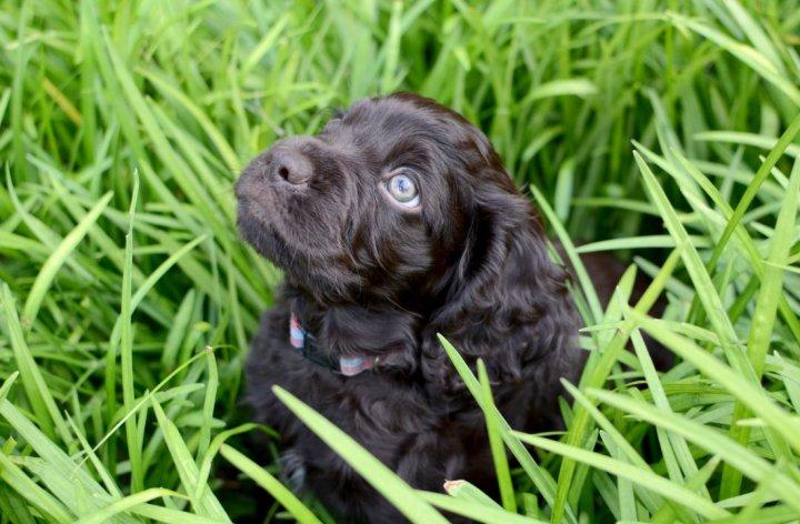 Boykin spanielis - šuniukas