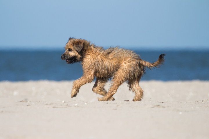 Katalonų aviganis - šuniukas