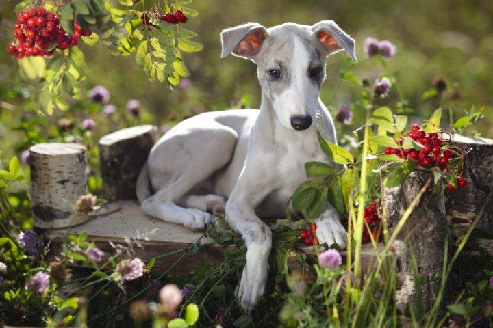 Vipetas (anglų kurtas) - šuniukas