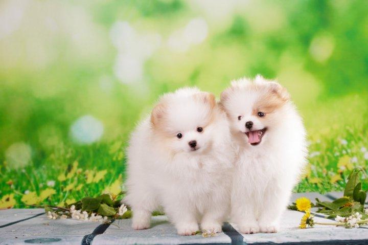 Pomeranijos špicas - šuniukas