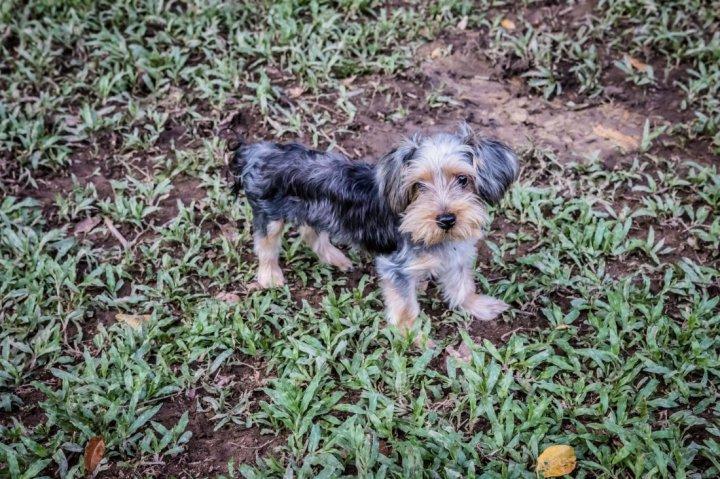 Australų šilkinis terjeras - šuniukas
