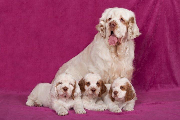 Klamberio spanielis - šuniukas