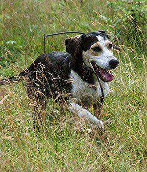 Norvegų skalikas - šuniukas
