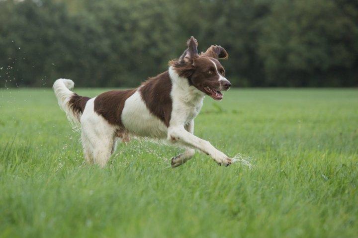 Drentės kurapkinis šuo - nuotrauka