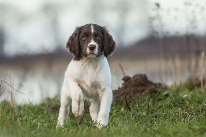 Drentės kurapkinis šuo - šuniukas