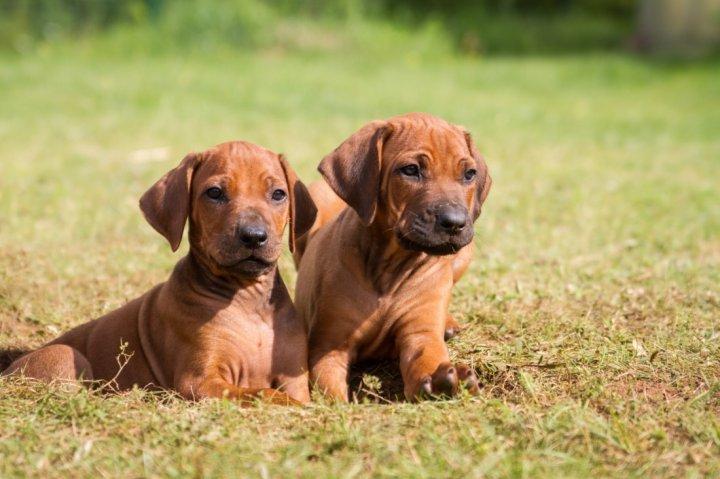 Rodezijos ridžbekas - šuniukas