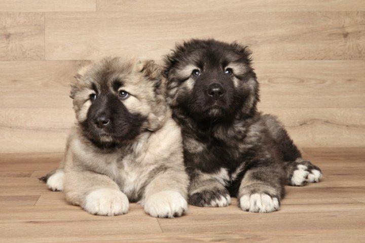 Kaukazo aviganis - šuniukas